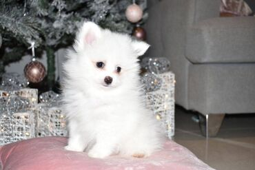 Τα κουτάβια Pomeranian είναι διαθέσιμα σε εσάς Έχουμε διαθέσιμα δύο όμ