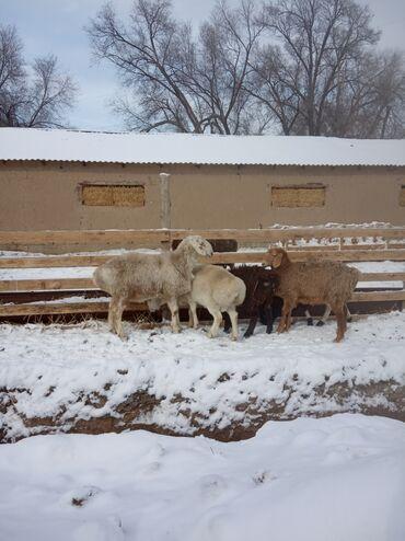 Бараны, овцы - Порода: Другая порода - Бишкек: Продаю | Баран (самец) | На забой, Для разведения | Осеменитель