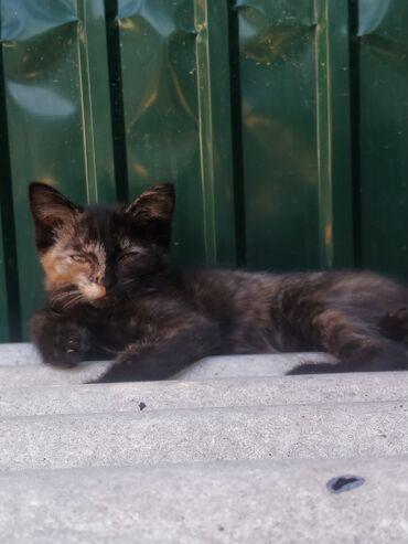 Срочно отдаю кошечку в добрые руки, ее мать шикарный мышелов, котенок