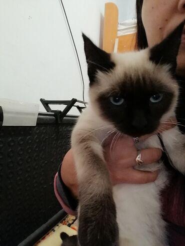 101 объявлений   ЖИВОТНЫЕ: Продаю сиямского кота 6 месяцев