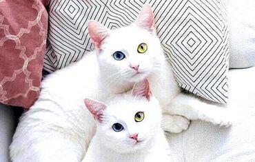 Коты - Беловодское: Никак не могу найти кошку породы као мани кто мажет дать даром приеду