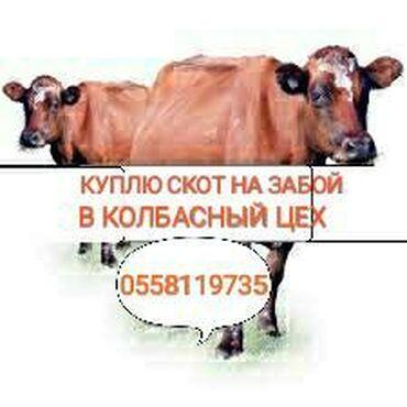 Бараны романовской породы купить - Кыргызстан: Куплю скот в колбасный цех любой упитанности и возраста