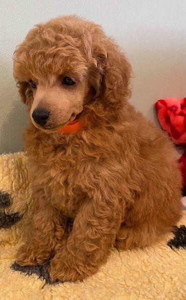 Πώληση κουτάβια παιχνιδιών PoodleΤα κουτάβια Toy Poodle Terrier για
