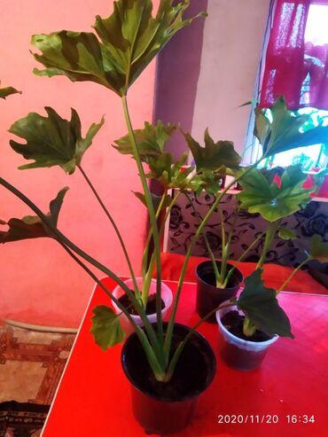 Комнатные растения - Сокулук: Другие комнатные растения