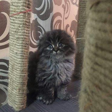 Продаются котята шотландской породы. в Кант
