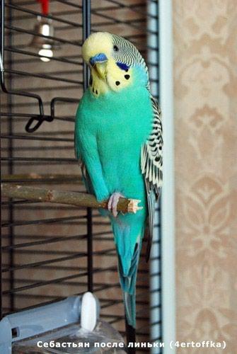 волнистые попугаи размножение в Кыргызстан: Волнистые попугаи для домашнего содержания