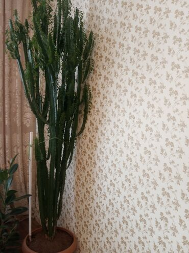 shlepancy na tanketke в Кыргызстан: Продаю большой цветок