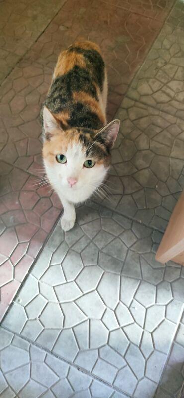 Другие животные - Кыргызстан: Отдам взрослую кошку, в хорошии руки. 1 год кошке. Очень ласковая