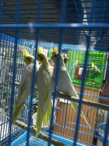 Певчие попугаи разные  в Сокулук - фото 3