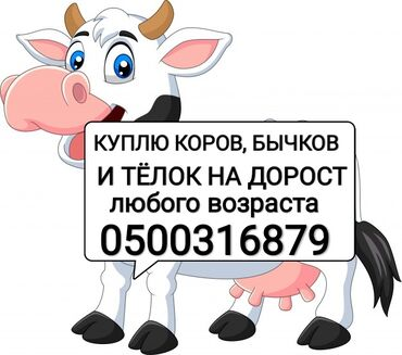 платья ретро 50 х в Кыргызстан: Куплю коров дойных, БЫЧКОВ И ТЁЛОК НА ДОРОСТ на ДОКОРМ