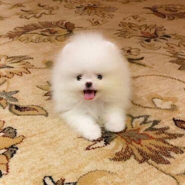 Pomeranian PupsPomeranski psići: preslatki mužjaci i ženke, stari 10