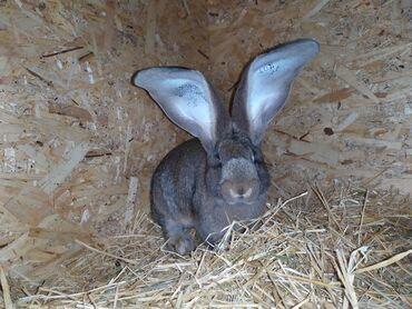 Кролики, крольчата. Кролики из Европы.Породы: Дольче Ризен,Сатин