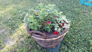 Prodajem radi selidbe razno cvece i za napolje i unutra