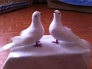 Продаю голуби сувенир 200с/шт, в Бишкек