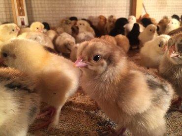 куры-домашние-цена в Кыргызстан: Цыплята. Цыплята суточные и подрощенные от домашних деревенских