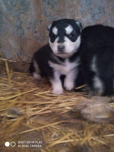 Животные - Алтыагадж: Собаки