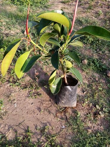 Toxumlar və çöl bitkiləri - Azərbaycan: Gul ve agaclar. Sitrus bitkileri. Her qiymete. Isdeyen elaqe saxlaya