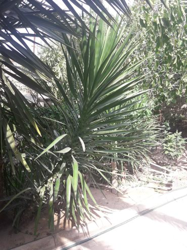 Bakı şəhərində Пальмы разных размеров с собственного двора