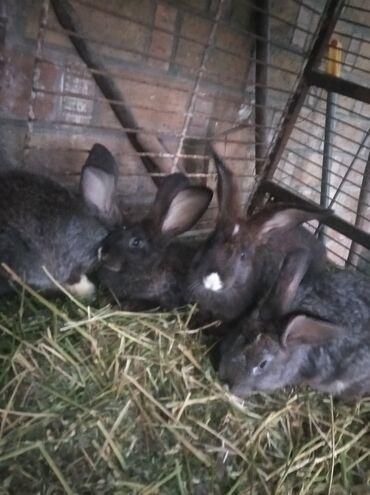 Крысы - Кыргызстан: Кролики 3 месяца порода перемешано фландр вес кроликов 3