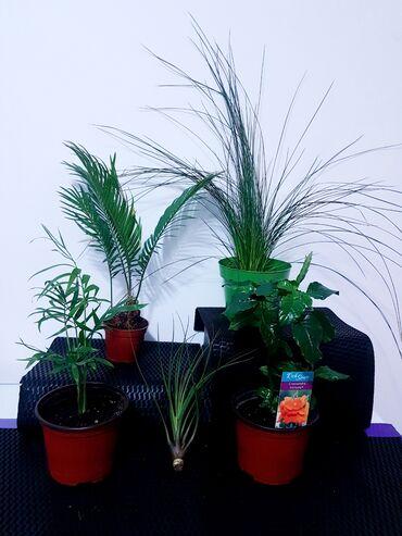 Miks ( Cykas palms, Samadora, Crossandra, Juncus, Vazdusna Tilandsia