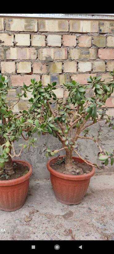 Комнатные растения в Кок-Ой: Продаю цветы денежное дерево высотой около 80см