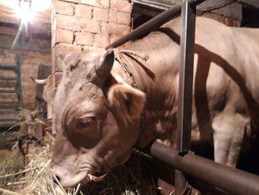 Животные - Заречное: Швиц бычок 1,5 года (р.140.об.груди 170. длина 150)