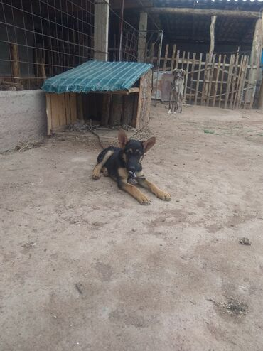 Животные - Чаек: Собаки