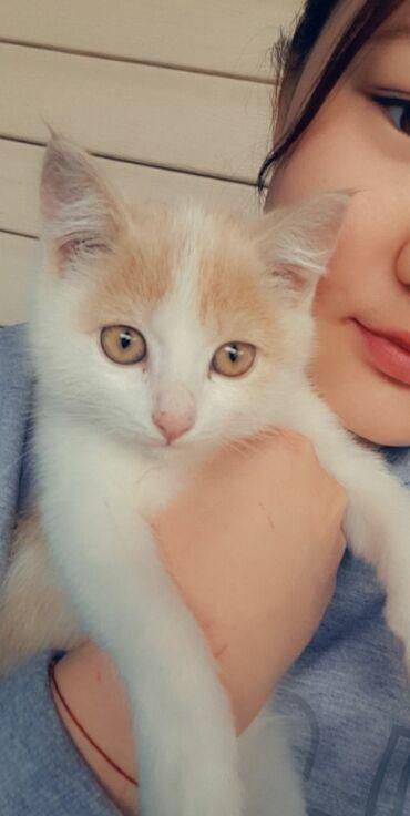 британский короткошерстный котенок в Кыргызстан: Котенок 4 месяца.Мальчик.Умный .игривый и домашний.г.Кара-балта.Без