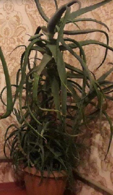 Комнатные растения - Узген: Алоя 9 лет масти цветы