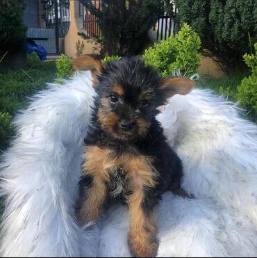 Na prodaju prvobirano štene MINI JORKIJA, star 2 meseca vakcinisan i