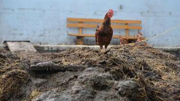 Животные - Таш-Мойнок: Продаю срочно куриный навоз. Тел