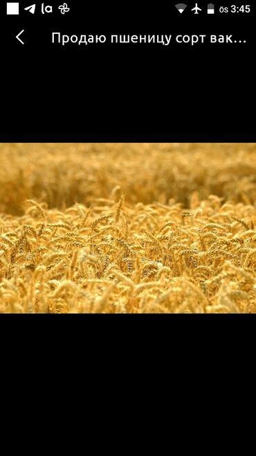 ячмень бишкек in Кыргызстан   ГРУЗОВЫЕ ПЕРЕВОЗКИ: Куплю Пшеница Ячмень 1 тонна