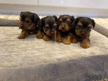 Πώληση κουτάβια Yorkshire TerrierΈχουμε χαριτωμένα κουτάβια Yorkshire