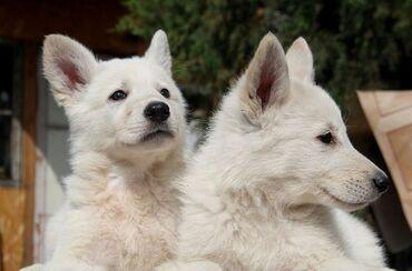Щенки,Белой швейцарской овчарки. Рождение 10.03.2021.Готовы для брон