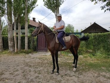 1 грамм золота цена кыргызстане in Кыргызстан | СЕРЬГИ: Продаю | Конь (самец) | Английская | Для разведения, Конный спорт | Племенные, Осеменитель