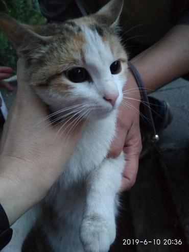 стерилизовать кошку в Кыргызстан: Пристраиваю молодую трёхцветную кошечку-девочку. Стерилизованную(