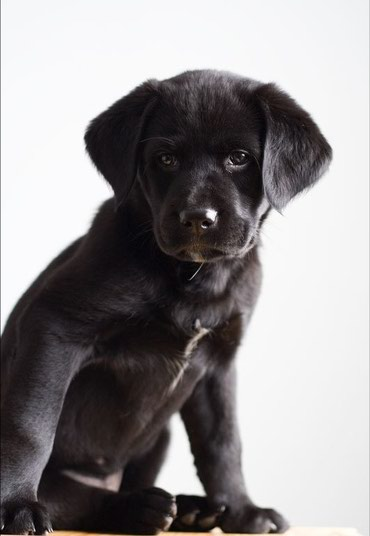 Full black Labrador Male and Female puppies  on sale.  in Kathmandu