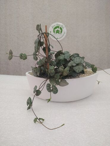Растение:Церопегия Вуда.(Лиана)Производитель: Holland.Кашпо