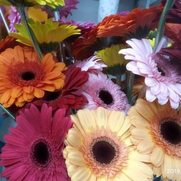 Герберы всех цветов 80 см в Бишкек