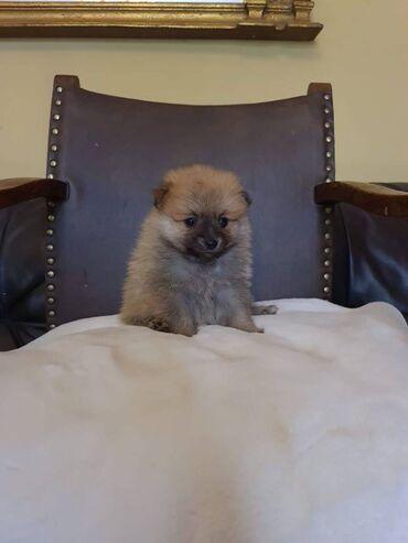Πωλούνται κουτάβια PomeranianΚουτάβια Pomeranian διαθέσιμα προς πώληση