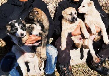 продажа щенков алабая в Кыргызстан: Продаются супер тяжи,мощные щенки АЛАБАЯ! Договорная
