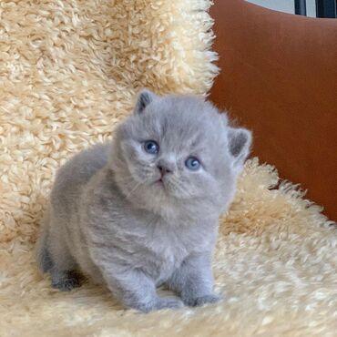 K DISPOZICI LOVELY BRITISH SHORTHAIRE KITTENBautiful dívka. kotě je