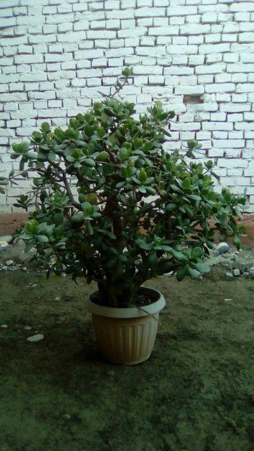 денежная дерево больше 10 лет в Ош