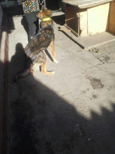 Алабай с овчаркой ,привит по возрасту в Бишкек