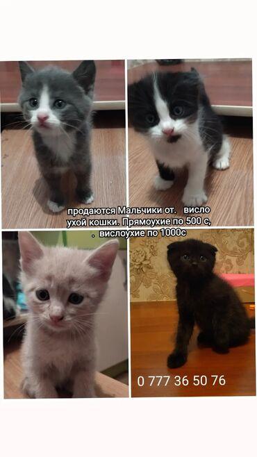 2694 объявлений: Продаются котята, от вислоухой кошки. Кушают всё, к лотку приучены. Им