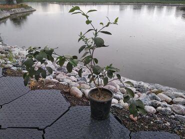 Комнатные растения в Кыргызстан: Продам деревца Ташкентского лимона, высота с горшком 1.30-1.40 см