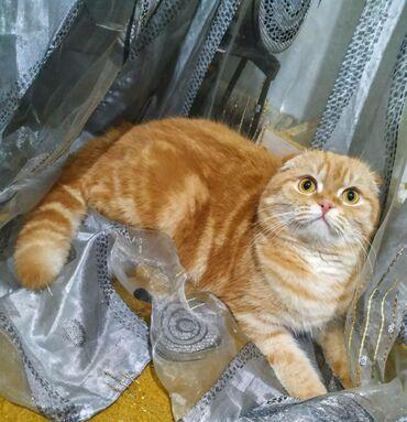 Вязка!!! Предлагается замечательный кот для вязки. С документами