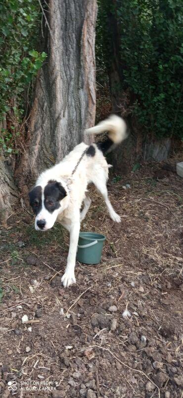 Животные - Кызыл-Суу: Собаки