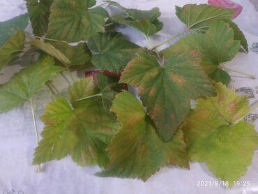11 объявлений: Продаем листья черной смородины Кара карагаттын жалбырагын сатабыз