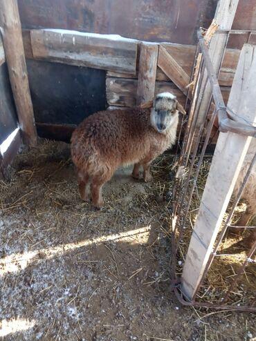 Бараны, овцы - Назначение: Для разведения - Бишкек: Продаю   Ягненок   Полукровка   Для разведения   Матка